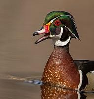 Wood Duck Portrait