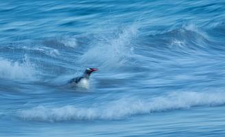Gentoo & Waves