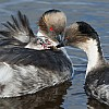 Silvery Grebes Feeding Chicks