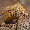 Land Iguana Cactus Lunch
