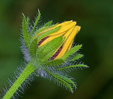 Black Eyed Susan Bud