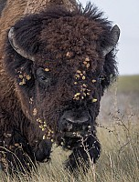 Go Bison