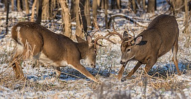 Whitetail Skirmish
