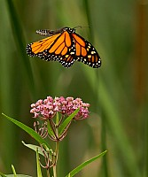 Milkweed Royalty