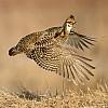 Prairie Chicken Flight