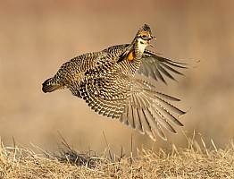 Prairie Chicken Flight