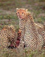 Cheetah Feeding