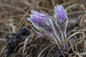 Pasque Flower Duo