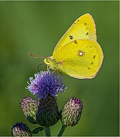 Yellow Sulphur on Knapweed