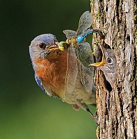 Eastern Bluebird Feeding Nestling