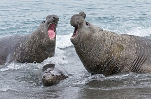 Elephant Seals Fighting Over Female