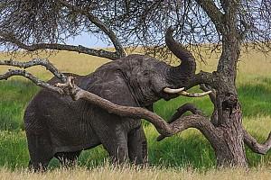 Browsing Elephant