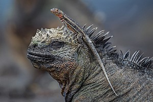 Lava Lizard on Iguana
