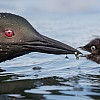 Loon Lunch