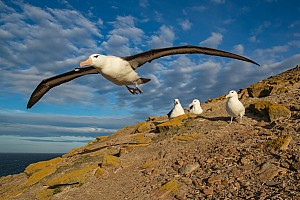 Albatross Taking Off