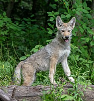 Coy Wolf Pup