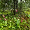 Stemless Lady's Slippers Habitat