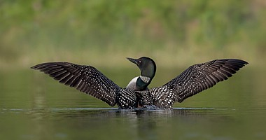 Common Loon Pose