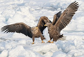 White Tailed Eagles Squabbling for Perch