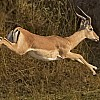 Impala Running Off Ground
