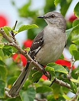 Northern Mocking Bird