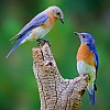 Eastern Bluebird Pair