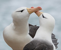 Albatross Courtship Display