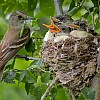 Willow Flycatcher Feeding Nestlings