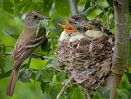 Willow Flycatcher Feeding Nestlings