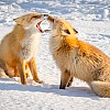 Northern Red Fox Pair