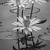 Waterlily B&W