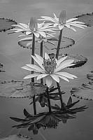Waterlily B&W
