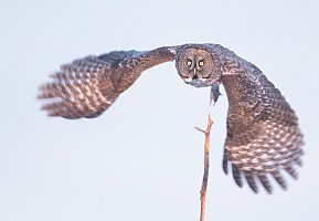 Great Gray Takeoff