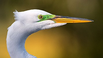 Egret Breeding Color