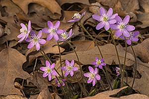 Sharp-lobed Hepaticas