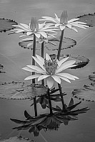 Water Lily B&W