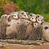 Opossum and Babies