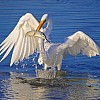 Great Egret with Lunch