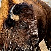 Badlands Bison