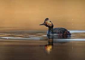 Golden Light Eared Grebe