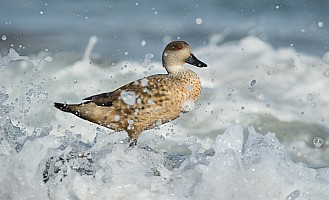 Crested Duck in Waves