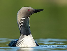Early Morning Pacific Loon