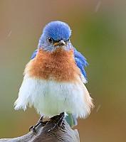 Eastern Bluebird in the Rain