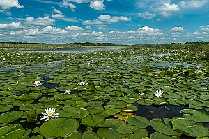 Water Lily Environmental
