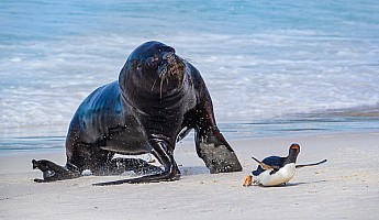Sea Lion Chases Gentoo