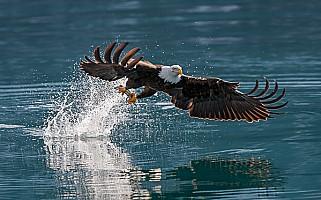 Bald Eagle Takes Fish