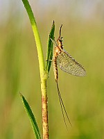 Dew Covered Mayfly