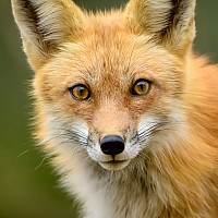 Red Fox Vixen