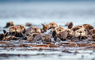 Raft of Otters Alaska