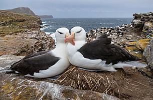 Albatross Crossed Beaks